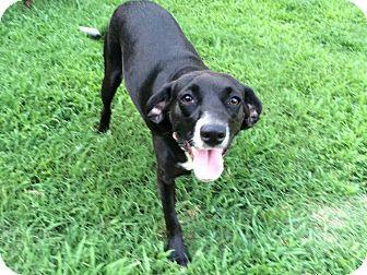 Labrador Retriever/Beagle Mix Dog for adoption in Bedminster, New Jersey - Darlin