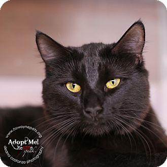 Domestic Mediumhair Cat for adoption in Lyons, New York - Gizmo