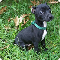 Adopt A Pet :: Lobo-Adoption pending - Bridgeton, MO