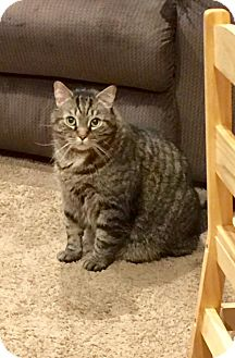 Domestic Shorthair Cat for adoption in Wantagh, New York - Frankie