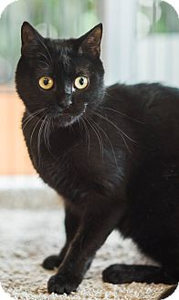 Domestic Shorthair Cat for adoption in New Orleans, Louisiana - Zelda