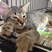 Domestic Shorthair Kitten for adoption in Jefferson, North Carolina - Mary