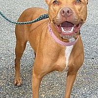 Pit Bull Terrier Mix Dog for adoption in Carmel, New York - Sally