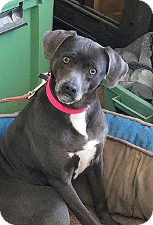 Miniature Pinscher Mix Dog for adoption in Marietta, Georgia - Penelope