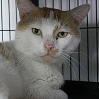 Domestic Shorthair Cat for adoption in Troy, Illinois - Hans