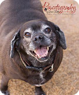 Pug/Beagle Mix Dog for adoption in Chandler, Arizona - Marley