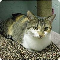 Domestic Shorthair Cat for adoption in House Springs, Missouri - Chelsea