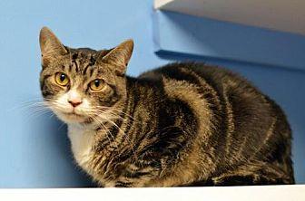 Domestic Shorthair Cat for adoption in Atlanta, Georgia - Mellow 13679