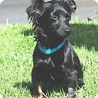 Adopt A Pet :: Habika - West Los Angeles, CA