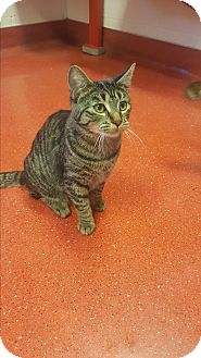 Domestic Shorthair Kitten for adoption in yuba city, California - Sasha