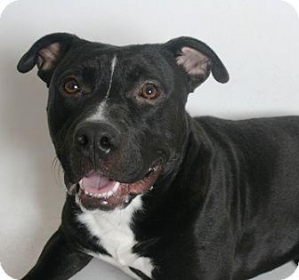 Pit Bull Terrier Mix Dog for adoption in Redding, California - Samwise
