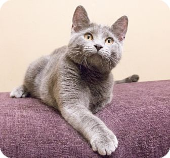 Chicago, IL - Russian Blue. Meet Dagmar a Cat for Adoption.