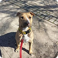 Adopt A Pet :: Bentley - Brooklyn, NY