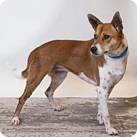 Adopt A Pet :: Laurel - Rockwall, TX