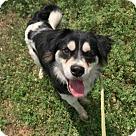 Adopt A Pet :: JACK ~ AUSSIE BOY