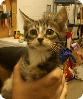 Domestic Shorthair Kitten for adoption in Troy, Ohio - Reeses