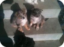 Australian Shepherd Mix Puppy for adoption in Alliance, Nebraska - aussie pups
