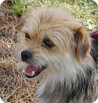 Yorkie, Yorkshire Terrier Dog for adoption in Port St. Joe, Florida - Lilly