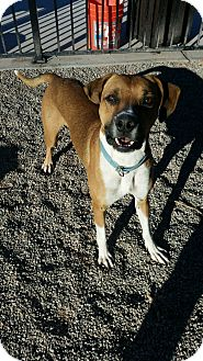 Boxer Mix Dog for adoption in Apache Junction, Arizona - Hutch