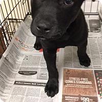 Adopt A Pet :: Abel - Phoenix, AZ