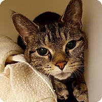 Adopt A Pet :: Beckett - Salisbury, MA