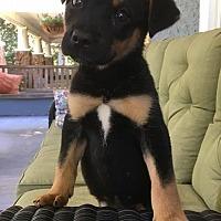 Adopt A Pet :: Zoe - Shaw AFB, SC
