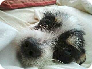 Jack Russell Terrier/Terrier (Unknown Type, Small) Mix Puppy for adoption in Los Angeles, California - Cassie