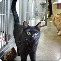 Domestic Shorthair Cat for adoption in House Springs, Missouri - Casey