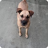 Adopt A Pet :: Allie - Williston, FL