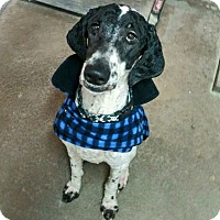 Adopt A Pet :: Domino - Geneseo, IL