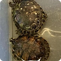 Turtle - Other for adoption in Greenfield, Indiana - Yellow Bellied Sliders-Medium