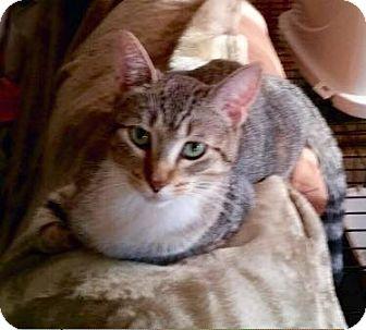 Domestic Shorthair Cat for adoption in Pierrefonds, Quebec - Vernie
