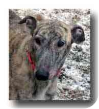 Greyhound Dog for adoption in Roanoke, Virginia - Sun Devil