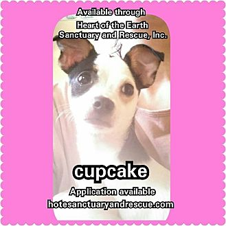 Fox Terrier (Smooth)/Chihuahua Mix Dog for adoption in Cumbeland, Maryland - Cupcake