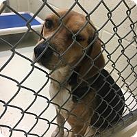 Adopt A Pet :: Quinn - Bowie, TX