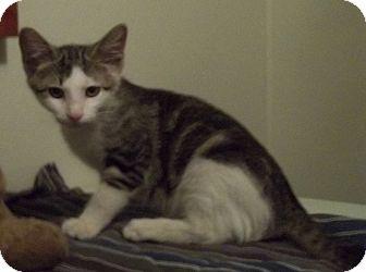 Domestic Shorthair Kitten for adoption in Witter, Arkansas - CRACKER