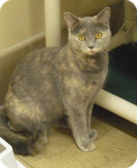 Domestic Shorthair Kitten for adoption in Wickenburg, Arizona - Gracie