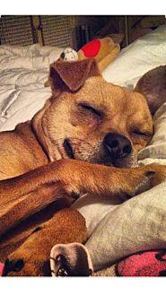 Basenji/Pug Mix Dog for adoption in Sparks, Nevada - Taz