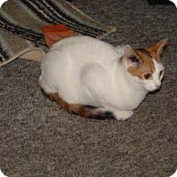 Domestic Shorthair Cat for adoption in Kinston, North Carolina - Clever