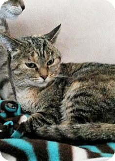 Domestic Shorthair Cat for adoption in Bruce Township, Michigan - Mamba