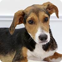 Adopt A Pet :: Freddie - Groton, MA