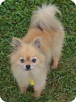 Pomeranian Dog for adoption in Prole, Iowa - Scout