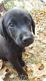 Labrador Retriever Mix Puppy for adoption in Cumming, Georgia - Hunter-Nature Pup