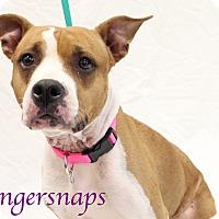 Adopt A Pet :: Gingersnaps - Bradenton, FL
