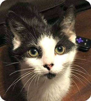 Domestic Shorthair Cat for adoption in Burlington, North Carolina - KC