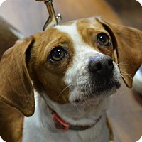 Beagle/Dachshund Mix Dog for adoption in Rockville, Maryland - Happy