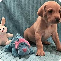 Adopt A Pet :: Bailey - Denton, TX
