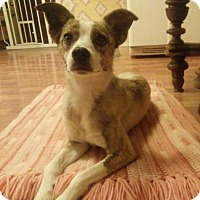 Whippet Mix Dog for adoption in Maple Grove, Minnesota - Juno