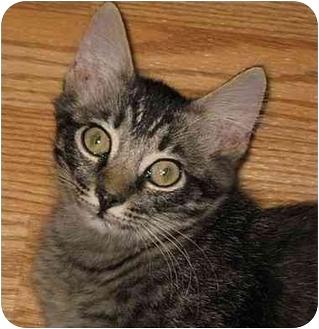 Maine Coon Kitten for adoption in AUSTIN, Texas - Homer