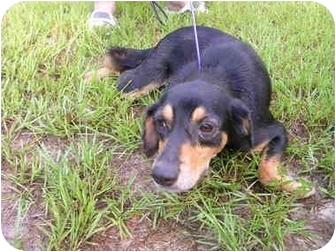 Dachshund/Anatolian Shepherd Mix Dog for adoption in HOBOKEN, Georgia - Queenie